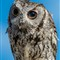 Western Screech Owl-22
