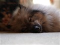 ella, our Keeshond