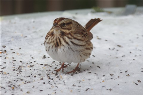 Song Sparrow puffed up for cold weather