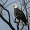 3-19-14 eagle 78 (1 of 1)
