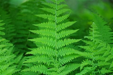 Desktop - Green Ferns