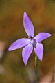 Glossodia major - Waxlip orchid