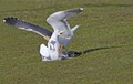 Two Lesser Black-backed Gulls fighting.