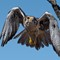 Prairie Falcon 02
