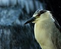 Night Heron by a waterfall