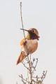 Anna's Hummingbird -0643