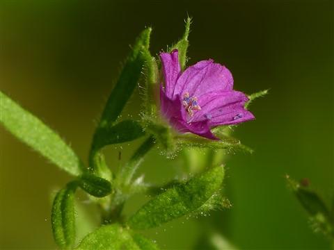 Fiorellino viola2 1200