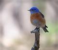 Bluebird in a Quiet Forest