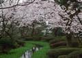 pink cherry blossom (Sakura), Kanazawa, Japan