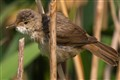 Reed Warbler (Acrocephalus scirpaceus)