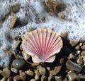 sea shell by the sea shore...