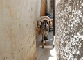 A donkey working in Medina of Fes, Morocco