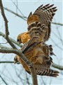 Red Shouldered Hawk Mating
