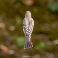 House Finch From Above