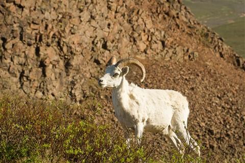 Dall Ram-Denali National Park