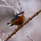 G9-Red Nuthatch: Background on this one isn't as nice, but good natural color of bird
