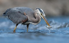 Great blue heron with a sculpin