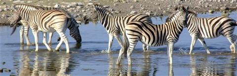 zebra reflections 2