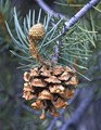 Pinyon Pine Cone