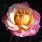 rose morning_2054