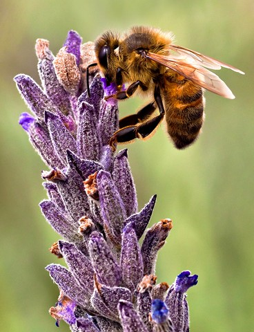 Lavendar honey