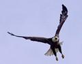 eagle challengeA