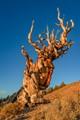 Ancient Bristlecone Tree 2016-5674