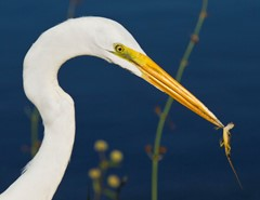Great White Egret vs Lizard