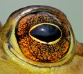 Beautiful Eye - Bullfrog.