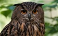 Eagle Owl at Rest