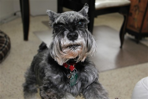 Freddy The Schnauzer