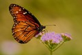 Queen Butterfly at Mistflower