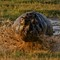 Hippo Mud Hole Launch