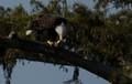 Bald Eagle having brunch