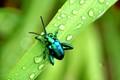 Shinny Beetle