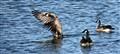 Goose Taking Off