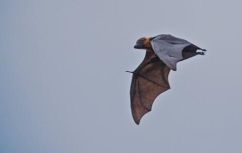Grey-Headed Flying Fox [Megabat] (Pteropus Poliocephalus)