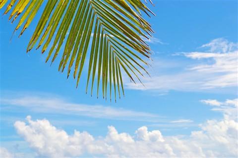 Guadeloupe_palm