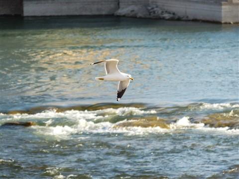 seagull ripples-1010629