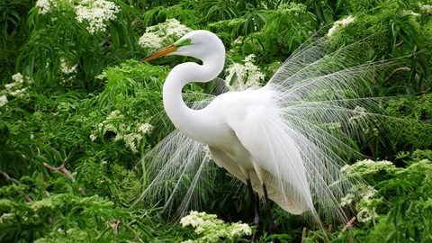 Male Egret in breeding plumage (1)