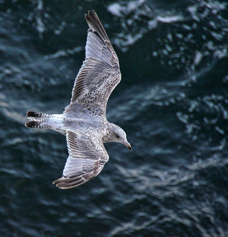 _Seagull from above