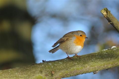 Christmasday Robin 2010