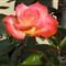 Nursery Rose 5_19_2012