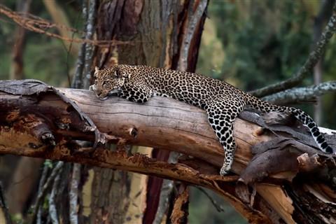 leopard in the rain