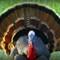 1-Turkey Feathers