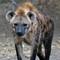 SA_June16_621_Moholoholo_Spotted Hyena