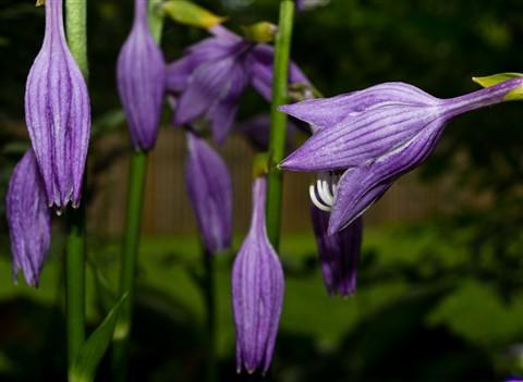 hosta bloom 5
