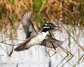 Seeing double, 2 Mergansers taking off side by side