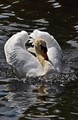 Swan landing on water to join others during a feeding session.