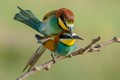 Mating bee-eaters